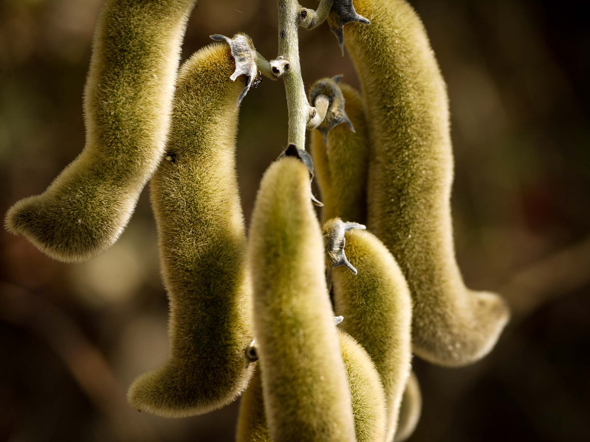 mucuna-pruriens-benefits-maximum-testosterone-and-growth-hormone-flowers-beans