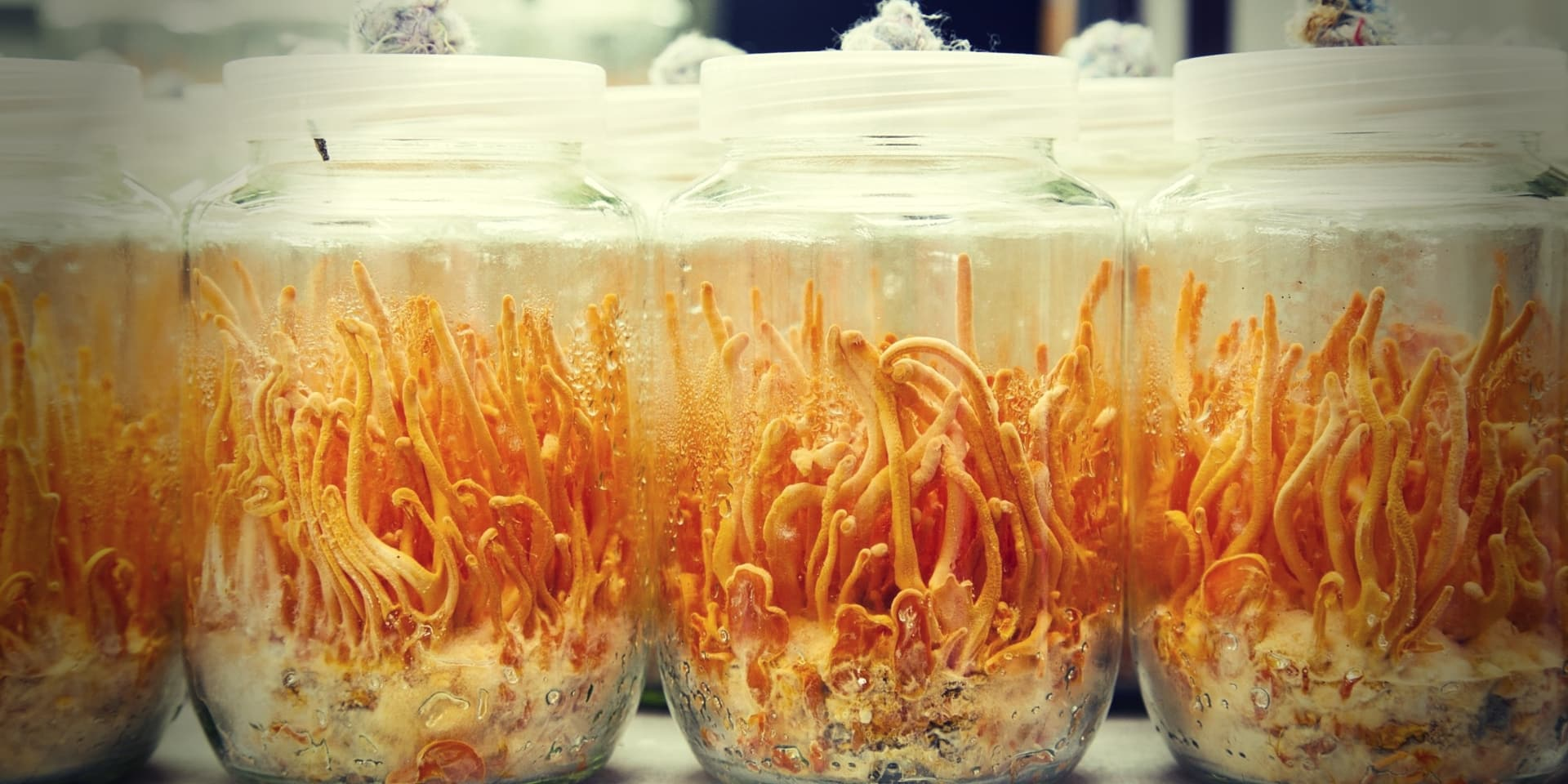 Cordyceps Militaris Fresh Cordyceps militaris in Glass bottles