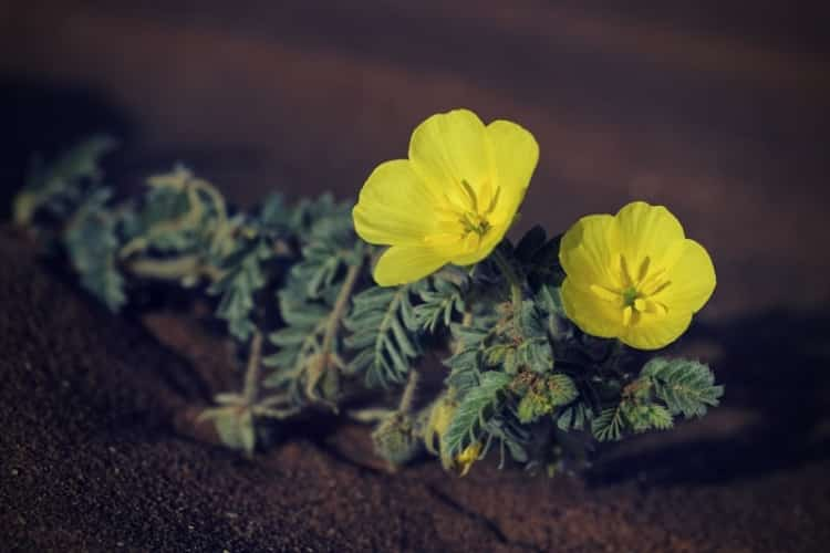 Small Caltrops - Tribulus terrestris, beautiful small plant with yellow flowers