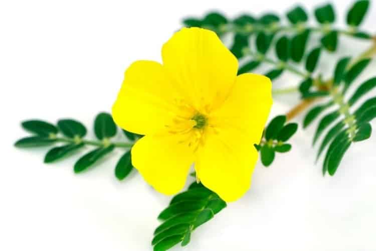 The yellow flower of devils thorn (Tribulus terrestris plant) with leaf