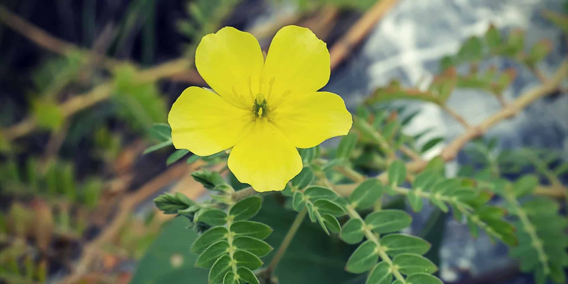 Tribulus Pro the yellow flower of devils thorn (Tribulus Terrestris plant) with leaves
